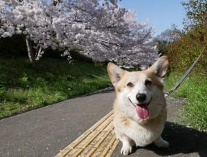 さんご桜1-min