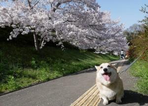 さんご桜2-min
