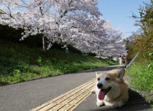 さんご桜3-min
